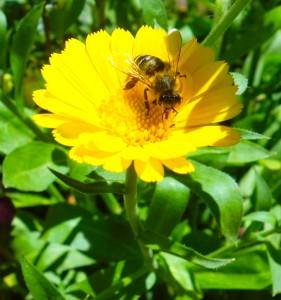 3. calendula en apis